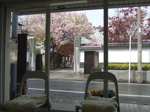 ピンクの桜 Cherry Blossom